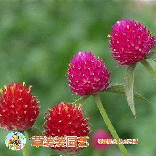 沭阳县 千日红种子千日紫种子千日粉种子包邮