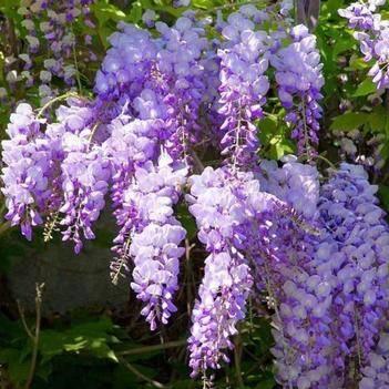 多花紫藤 花期长 规格齐全 现挖苗 保湿发货 保证成活率
