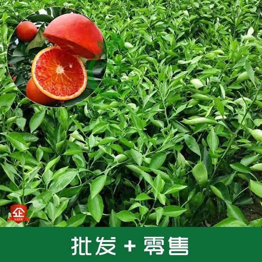成都简阳市塔罗科血橙苗 血橙苗塔罗科血橙柑橘苗可签合同嫁接苗高度40CM以上发货