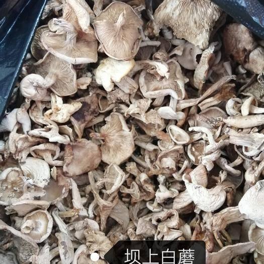 河北省承德市围场满族蒙古族自治县松蘑 自家上山采摘的