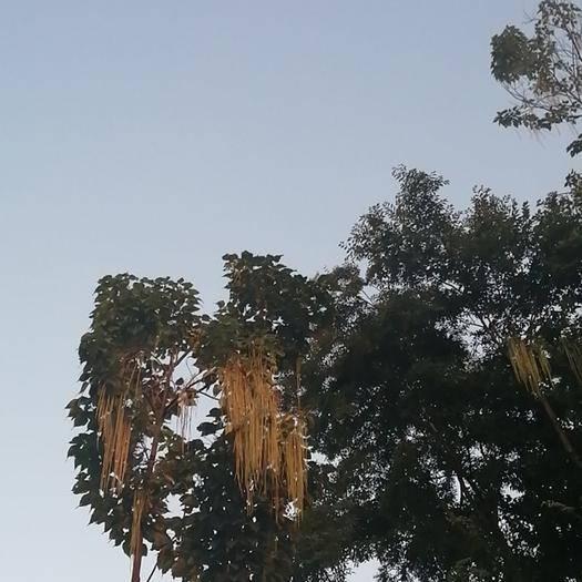 安顺平坝区 贵州安顺,楸树种子,保质保量品种好,价格,美丽