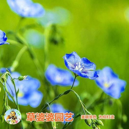 宿迁沭阳县 蓝花亚麻种子包邮