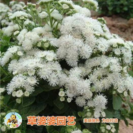 沭阳县霍香蓟种子 藿香花种子新种子包邮