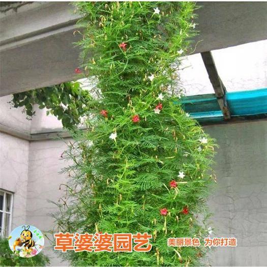 沭阳县羽叶莺萝种子 羽叶茑萝种子包邮