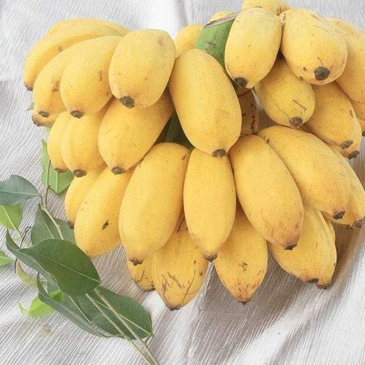 上林县 带箱10斤小米蕉香蕉广西小米蕉当季水果包邮  发货是青米蕉