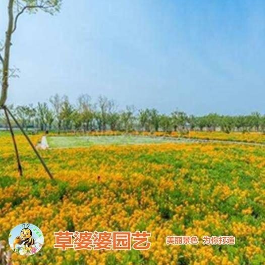 沭阳县 七里黄种子新种子包邮