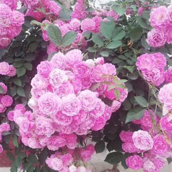 爬蔷薇  爬藤月季  分枝多 开花爆满 花期长 芳香持久