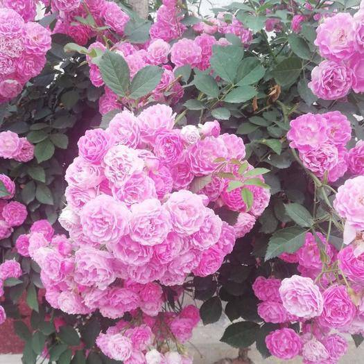 平邑縣 爬薔薇  爬藤月季  分枝多 開花爆滿 花期長 芳香持久