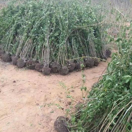 宿迁沭阳县 沭阳大型地被苗木连翘苗种植基地大量销售中价格优惠
