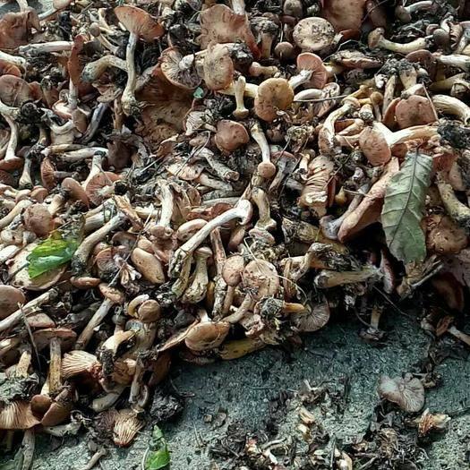 黑龙江省双鸭山市集贤县榛蘑 野生蘑菇