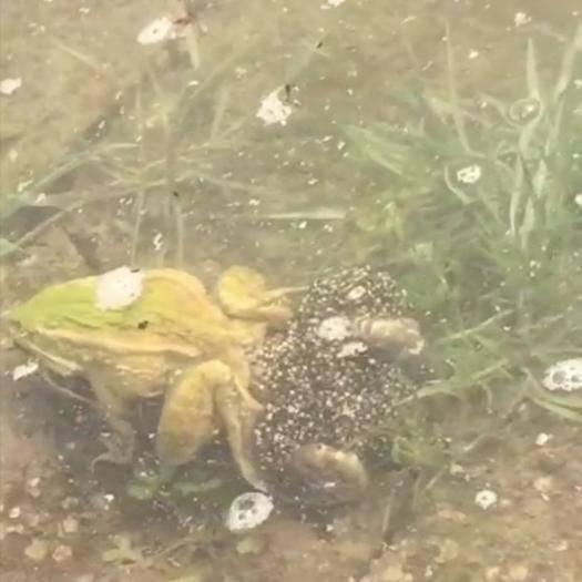重庆石柱 全程免费提供养殖技术: 销售:蛙苗、种蛙、商品蛙。