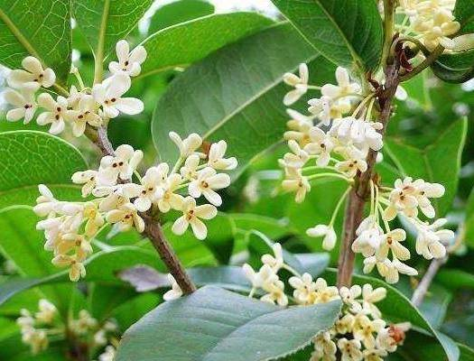 咸寧 四季桂    月桂   一年四季都開花