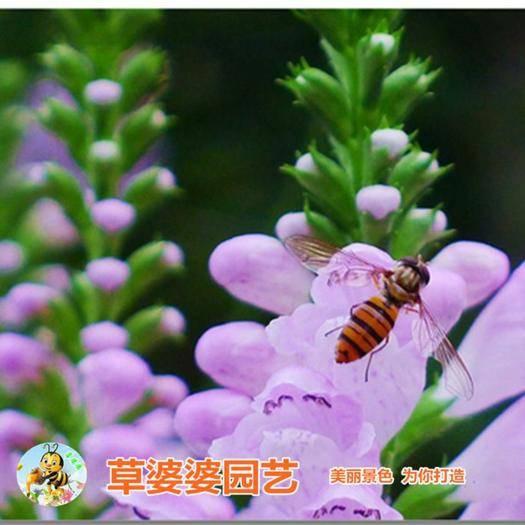 沭阳县 假龙头种子优质新种子包邮