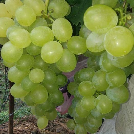 全州县 葡萄品种南玉
