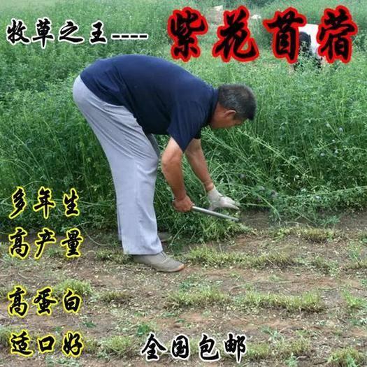 临沂平邑县苜蓿草种子 牧草种子 紫花苜蓿种子 6-8斤/亩 高产牧草种子