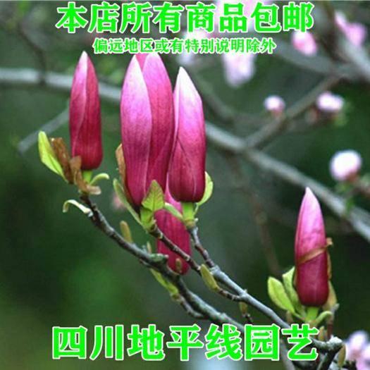 南充嘉陵区 玉兰种子广玉兰紫玉兰白玉兰种子包邮