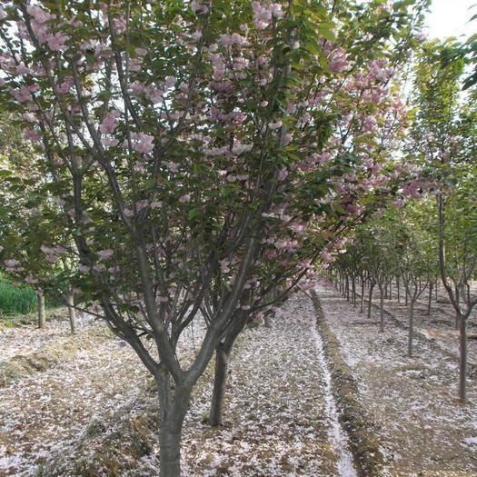 泰安 日本櫻花單櫻,樹型優美,漂亮,適合各種環境種植。