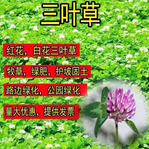宿迁沭阳县三叶草种子 进口红白三叶草籽种子易活绿化四季青草坪多年生牧草果园绿肥植物