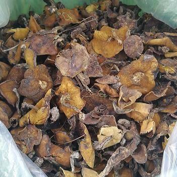 野生松蘑菌