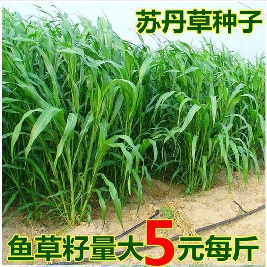 宿迁沭阳县 苏丹草种子 优质进口高产鱼草草籽 猪牛羊草饲料 牧草草籽