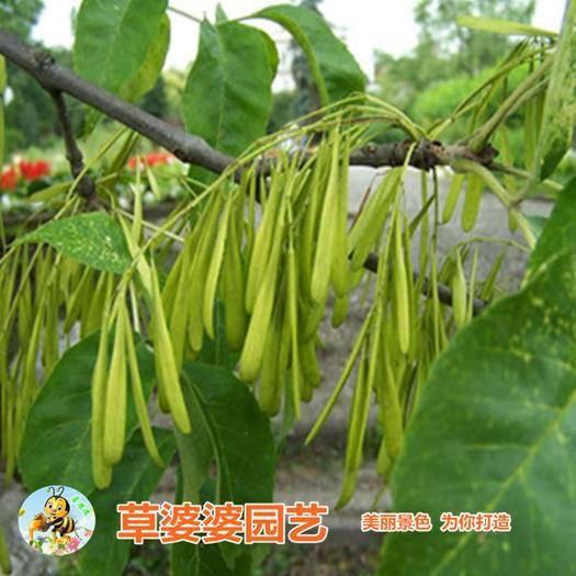 沭阳县 白蜡种子新种子包邮