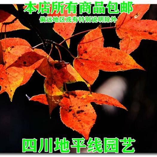 南充 枫香种子新种子包邮