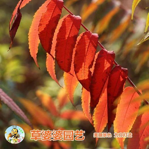 沭阳县 臭椿种子包邮