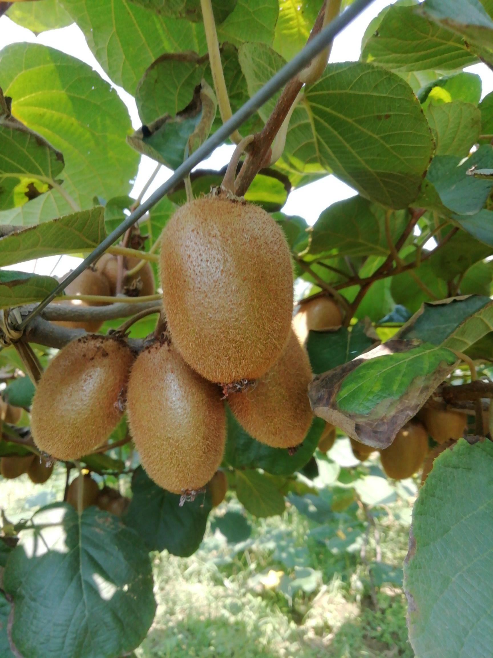 武功翠香猕猴桃,有机种植不一样的口感自产自销,诚信为本!