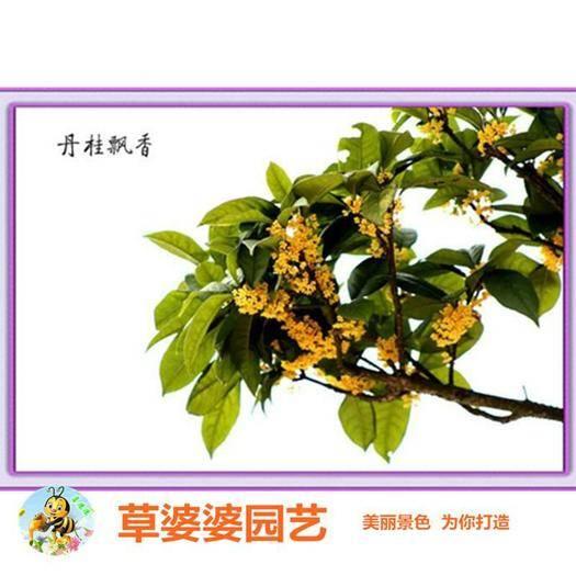 沭阳县桂花树种子 桂花种子包邮