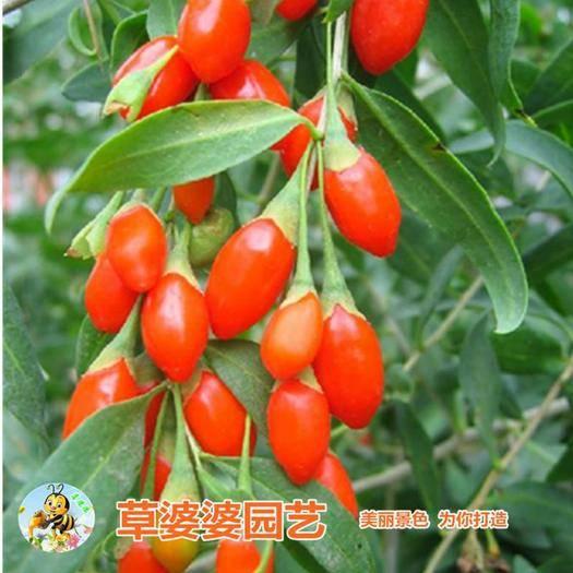 宿迁沭阳县红枸杞种子 构杞种子新种子包邮