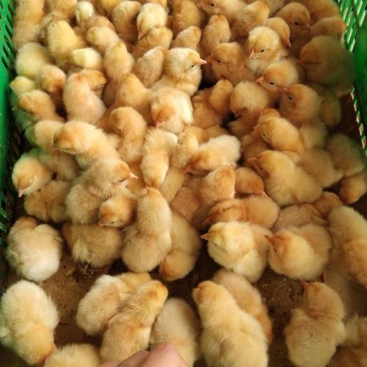 南宁西乡塘区三黄鸡苗 包运输疫苗成活率百分之95以上 欢迎订购