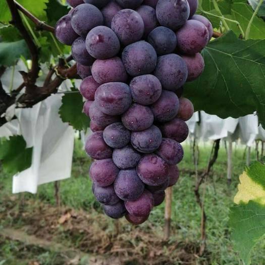 西安巨玫瑰葡萄 5%以下 1次果 1.5- 2斤