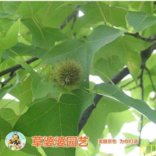沭阳县 枫香种子包邮