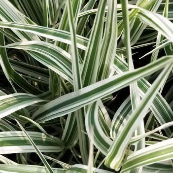 玉带草 多年生植物  宿根植物 产地直销