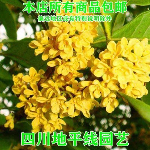 南充 桂花树种子包邮