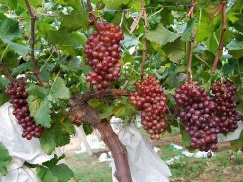 威县 大串红宝石葡萄