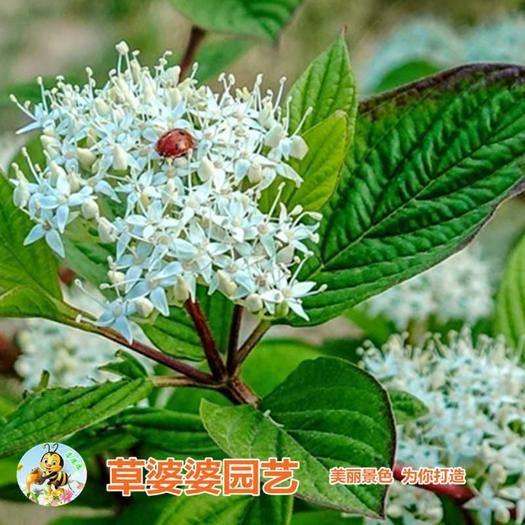 宿迁沭阳县 红瑞木种子新种子包邮