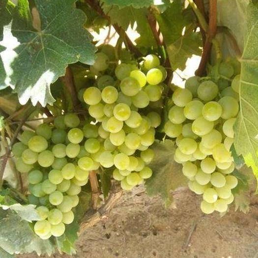 平度市 本人自家种植葡萄  诚信经营  品质保证