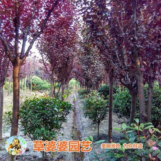 沭阳县红叶李种子 紫叶李种子新种子包邮