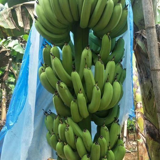 遂溪县菲律宾香蕉 七成熟