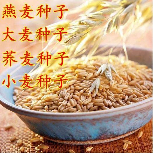 宿迁沭阳县荞麦种子 大麦种子榨汁小麦种子燕麦种子荞麦黑小麦青稞种子