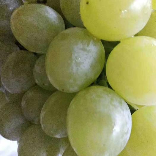 平度市泽山一号葡萄 1-1.5斤 5%以下 1次果