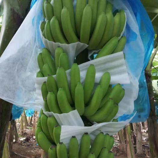 湛江麻章区 香蕉,火龙果,粉蕉精品
