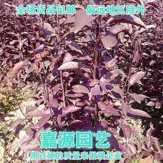 成都 红叶李种子.紫叶李红叶李种子新种子包邮