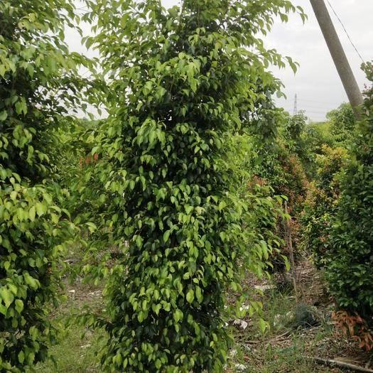 中山市垂葉榕 有大量垂榕,需要的老板滴滴我。