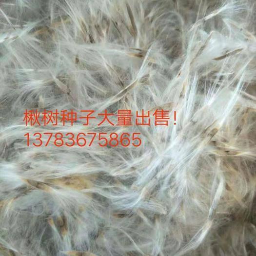 周口淮阳县 大量出售楸树种子,质量保证,欢迎咨询订购!
