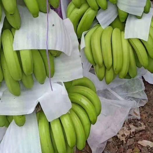 南宁 香蕉大量上市