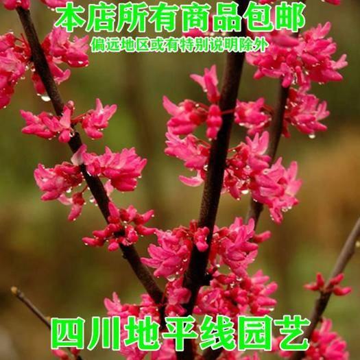 南充嘉陵区紫荆花种子 紫荊花种子新种子包邮紫荊种子