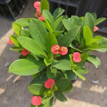 多肉虎刺梅 铁海棠 虎刺梅 虎刺 麒麟刺 盆栽 观花植物 花卉盆景