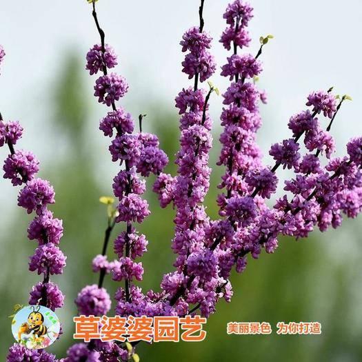 宿迁沭阳县 紫荆花种子新种子包邮